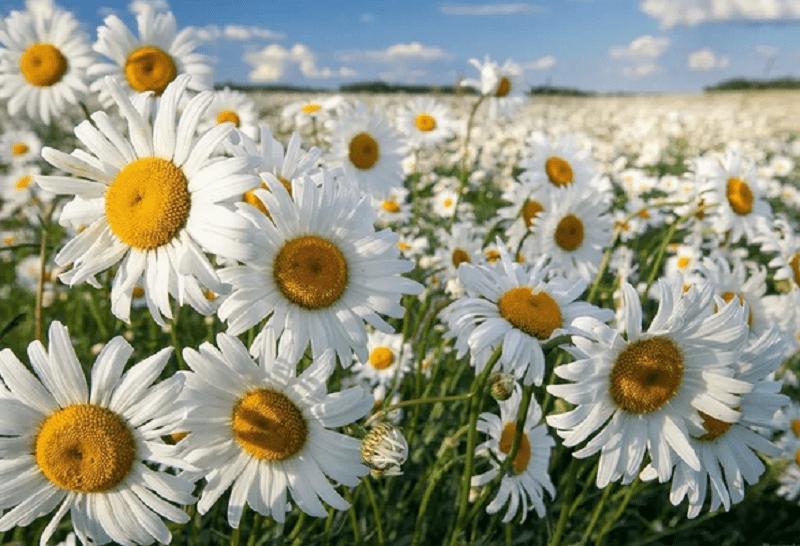 поле ромашек