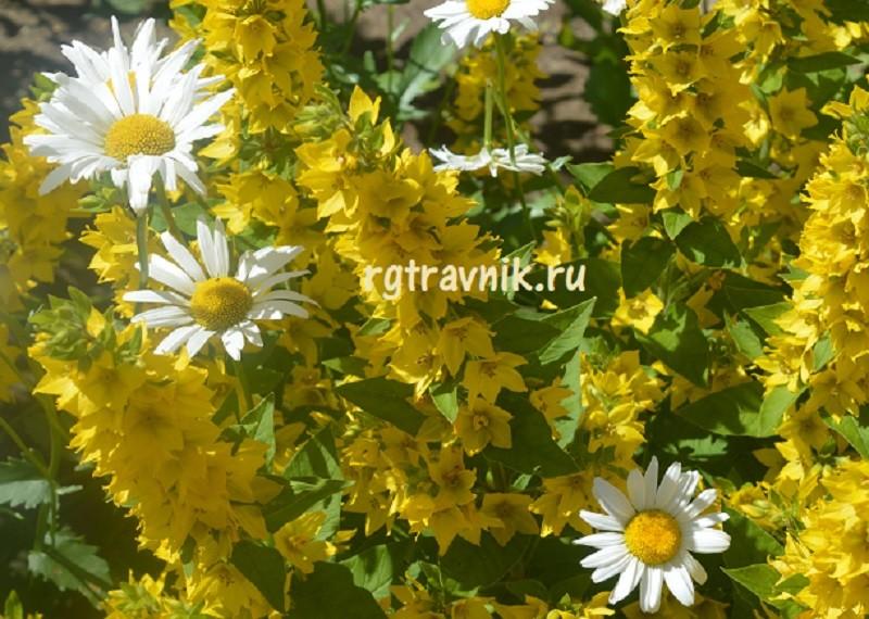 ромашка и желтые цветы