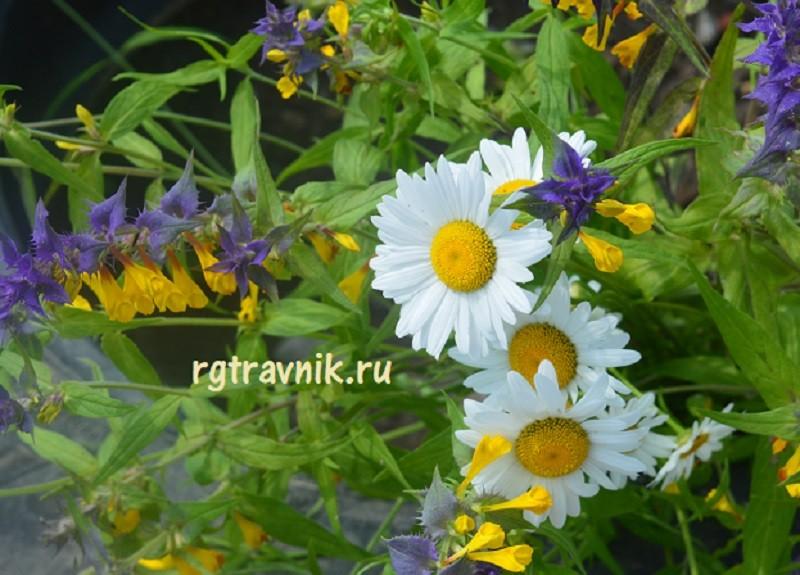 ромашка среди цветов