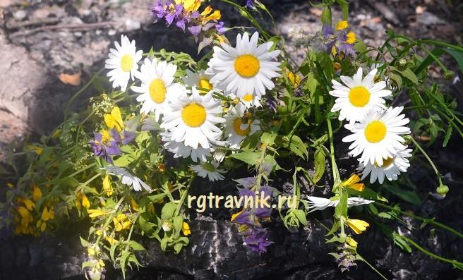 ромашки и цветки иван да марья