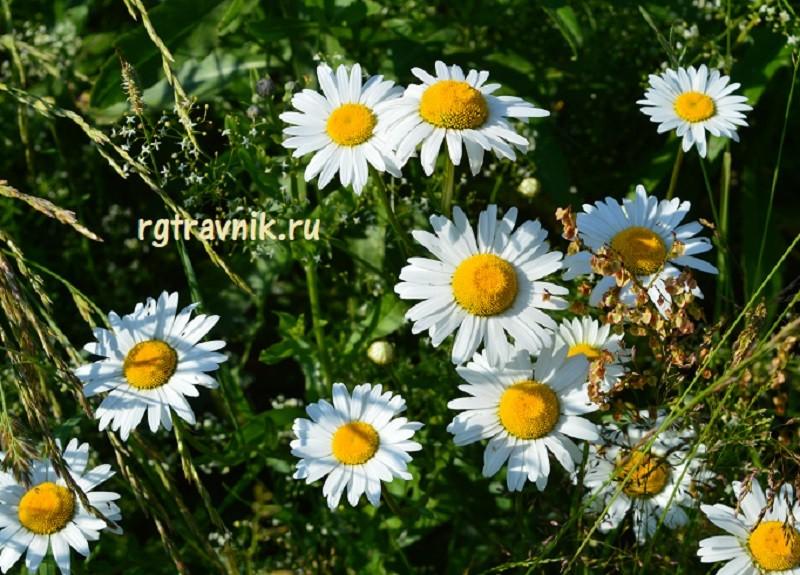 цветки ромашки на поляне