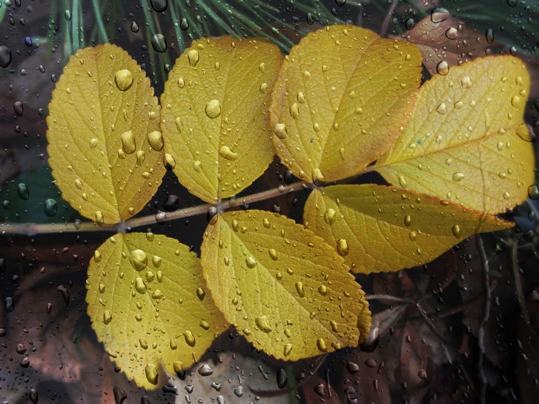 лист шиповника осенью