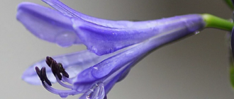 цветущий агапантус